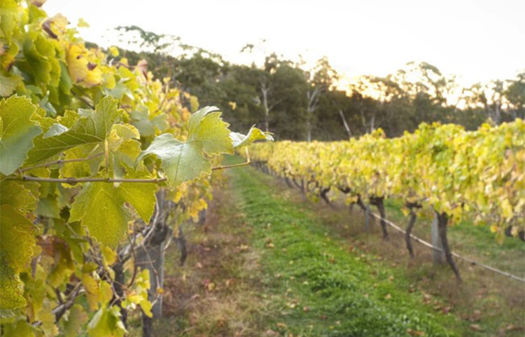 Picturesque and award-winning Harcourt Valley Vineyard